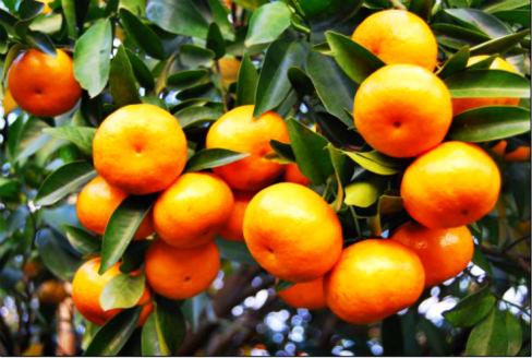龙门县年桔:果大形美 肉嫩汁多
