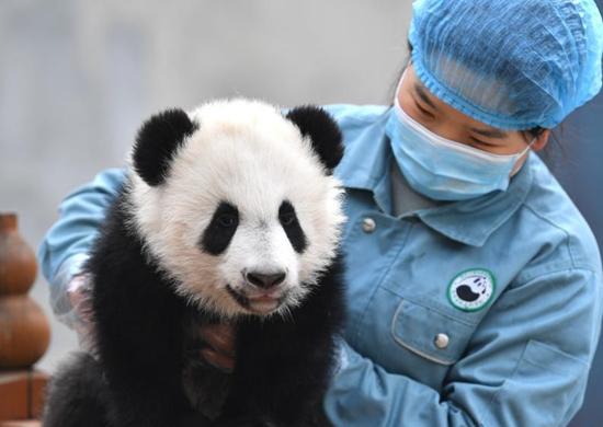 陕西秦岭大熊猫研究中心:大熊猫宝宝健康成长