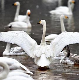 大寒时节天鹅舞黄河湿地迎来最佳观赏时期
