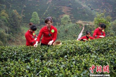 广西昭平县19万亩春茶全面开采赶市