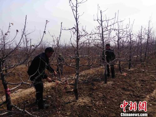 苹果树剪枝图解-荒山蜕变 绿色银行 河北贫困村的脱贫之路 图