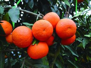 <b>象山红柑桔:补水滋润必备水果</b>