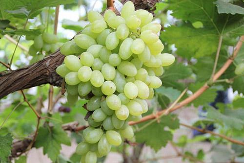 北京大兴采育葡萄