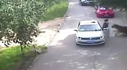 北京八达岭野生动物园老虎伤人事件