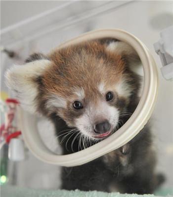 云南野生动物园首次人工育幼小熊猫