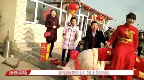 """1260斤猪接新娘 猪倌娶媳妇""""猪王""""助阵"""