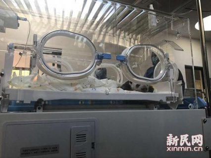 上海野生动物园龙凤胎熊猫宝宝满月 兄妹俩同框亮相