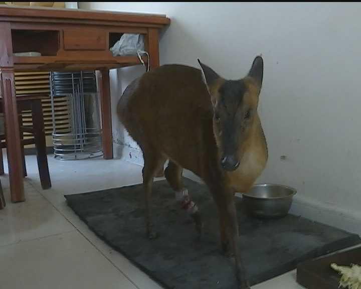 前几天,他捡了个小动物,是个四不像,长了个马脸,鹿蹄子,希望记者能