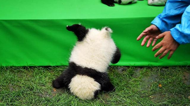 成都23只大熊猫宝宝集体亮相萌化