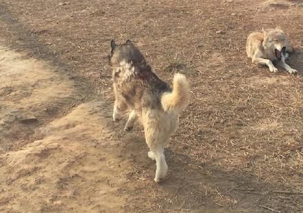 动物园狼舍现受伤哈士奇 园方:系笼舍刮伤 已将其与狼