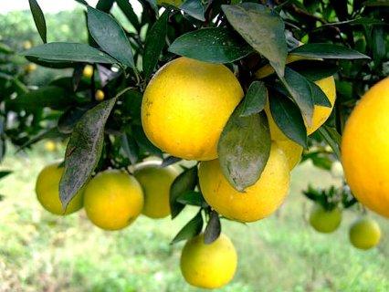 邻水脐橙:四川省农业厅首批认证无公害农产品