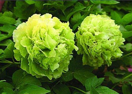 黄山绿牡丹:汤色黄绿明亮 滋味醇厚带甘