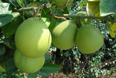 安江香柚:秦汉时开始种植 已有2000多年栽培历史