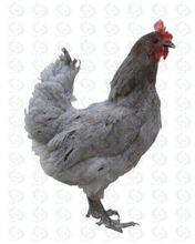 安义瓦灰鸡:外形美观 体态良好