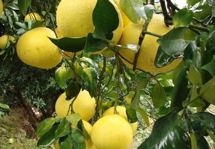 玉环文旦:肉质脆嫩化渣汁多 浙江柚类优良品种之一