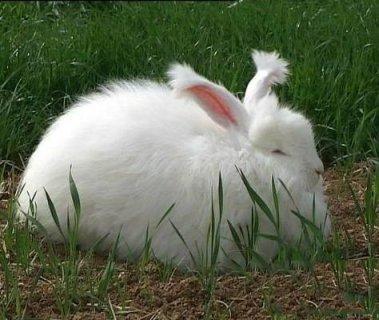 """镇海长毛兔:兔毛长且多的""""兔中之王"""""""