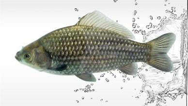 东江鱼:以藻类和浮游植物为食 富含多种氨基酸