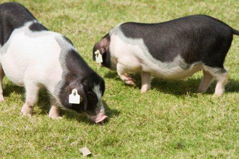 宁乡牲猪:膘肥肉美 在国内外享有较高声誉