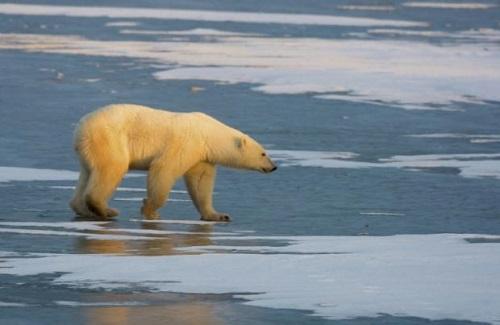 北极熊的生存环境正在不断恶化