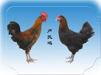 卢氏鸡:河南省无公害农产品 国家级有机食品