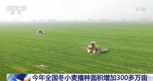 今年全国冬小麦播种面积比上年增加300多万亩